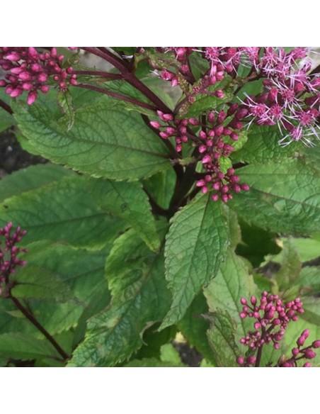 """Eupatoire maculée """"Purple bush"""""""