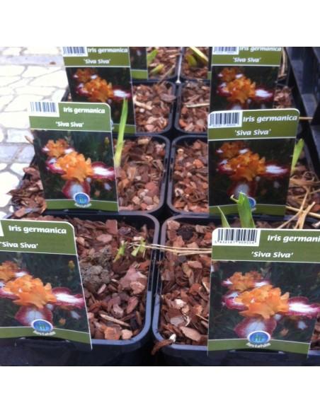 Iris des jardins Siva Siva