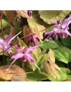 Fleur des elfes à grandes fleurs Lilafee