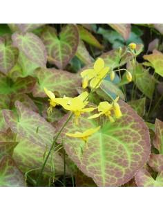 Fleur des elfes sulphureum
