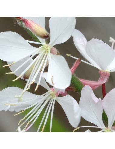 Gaura lindheimeri Whirling butterfiles
