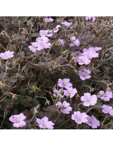Geranium vivace Dusky Crug