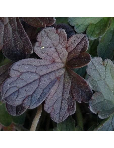 "Geranium vivace ""Dusky Crug"""