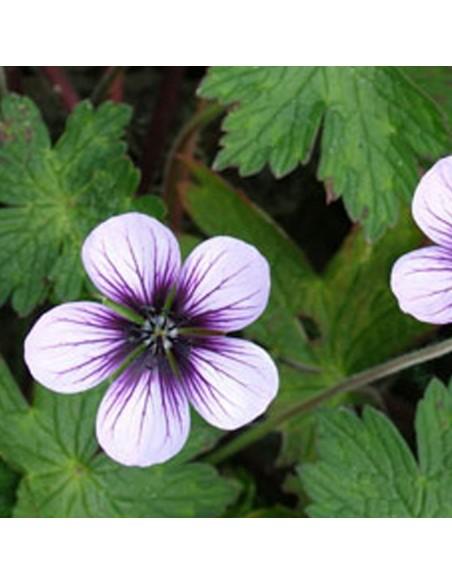 """Geranium vivace """"Salomé"""""""