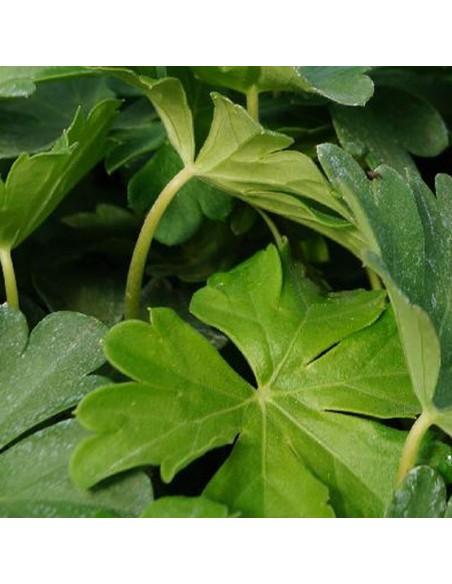 Geranium vivace Biokovo