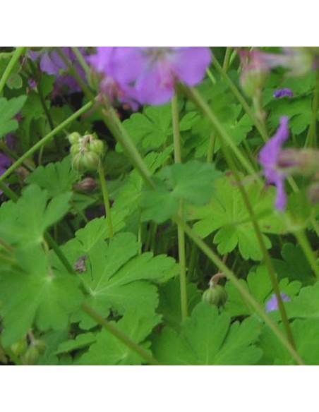 Geranium vivace Cambridge