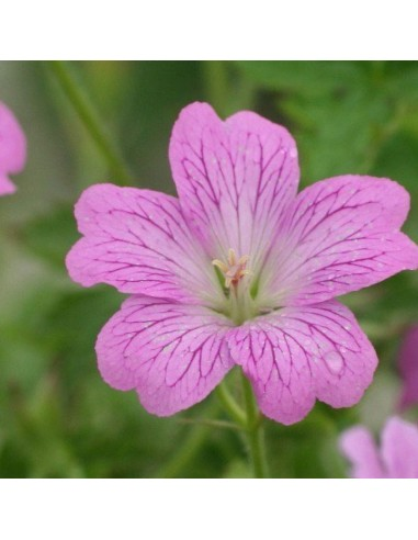 Geranium vivace Claridge Druce