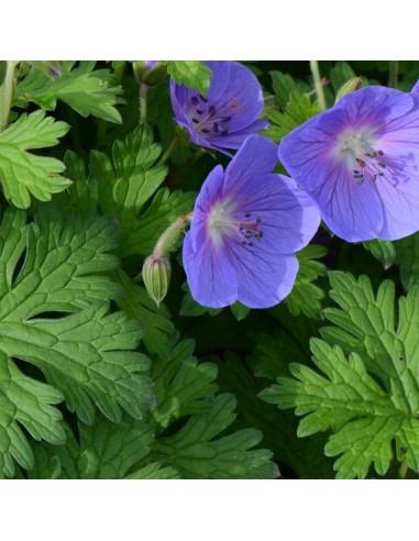 Geranium vivace de l'Himalaya
