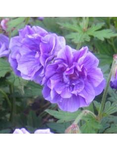 Geranium vivace de l'Himalaya Plenum