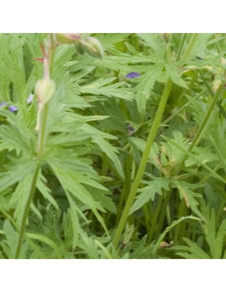Geranium vivace des près