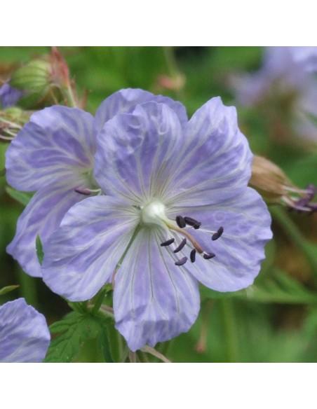 Geranium vivace des près Mrs Kendall Clarke