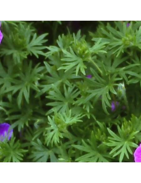 Geranium vivace Dilys