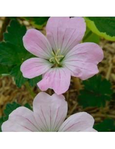 Geranium vivace Dreamland