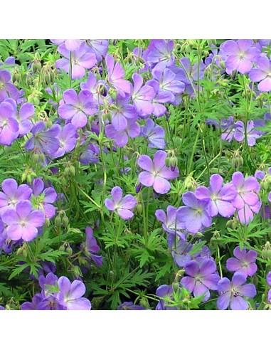 Geranium vivace Johnson's blue