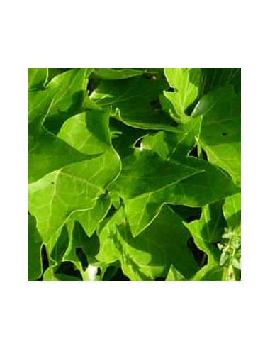 Lierre commun Green ripple
