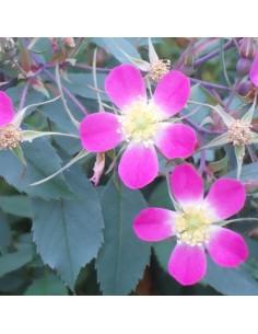 Rosier botanique - rosa glauca