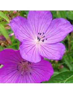 Geranium vivace Kashmir purple