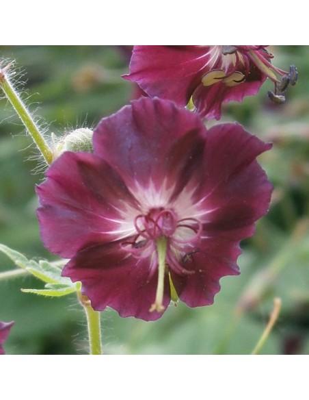 Geranium vivace livide