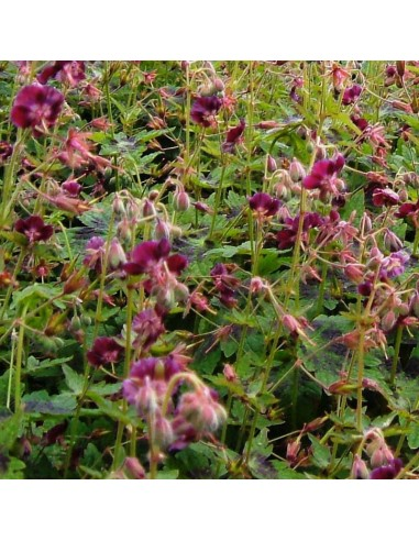 Geranium vivace livide Samobor