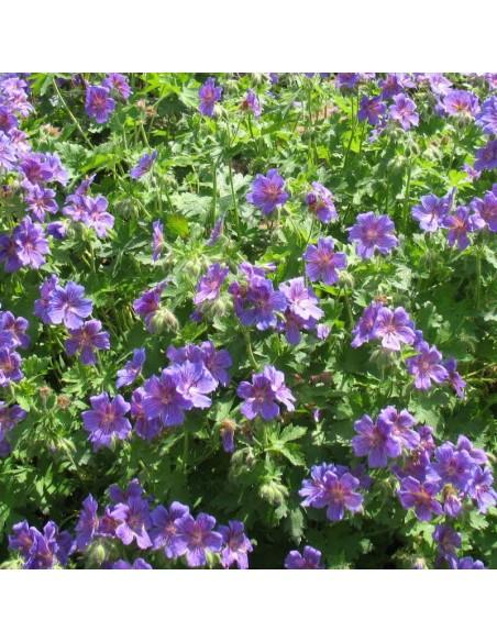 Geranium vivace magnifique