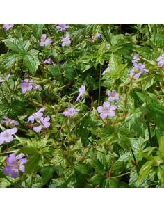 Geranium vivace noueux