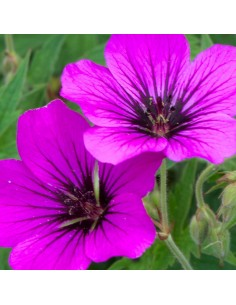 Geranium vivace Patricia