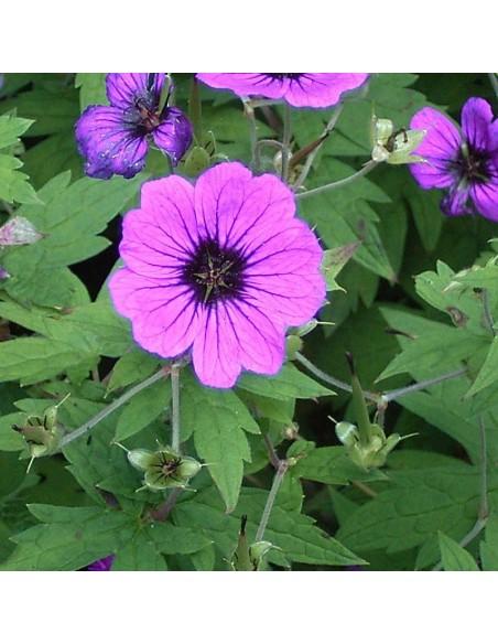 Geranium vivace psilostemon