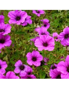Geranium vivace psilostemon Bressingham Flair