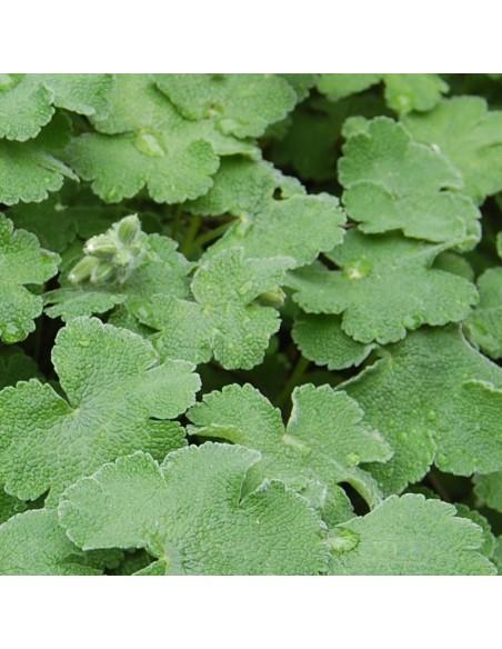 Geranium vivace Renardii