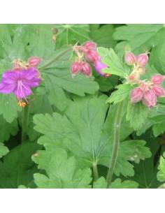 Geranium vivace rhizomateux
