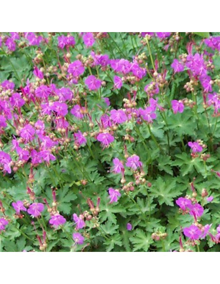 Geranium vivace rhizomateux Olympos