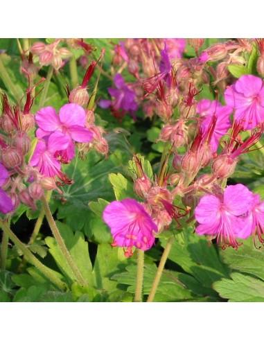 Geranium vivace rhizomateux Bevan's variety