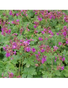 Geranium vivace rhizomateux Czakor