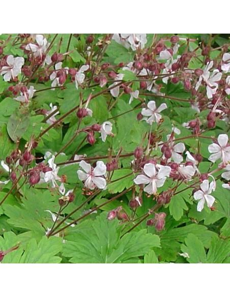 Geranium vivace rhizomateux Ingwersens variety