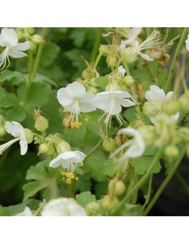 Geranium vivace rhizomateux White Ness