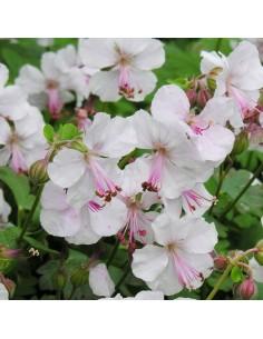 Geranium vivace Saint ola