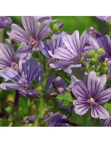 Mauve sylvestre Primley blue