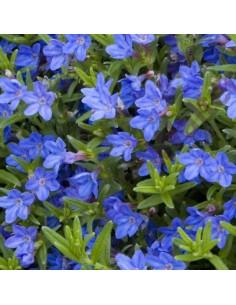 Grémil Heavenly blue