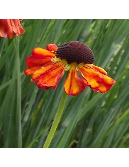 Hélénie hybride Kupferzwerg