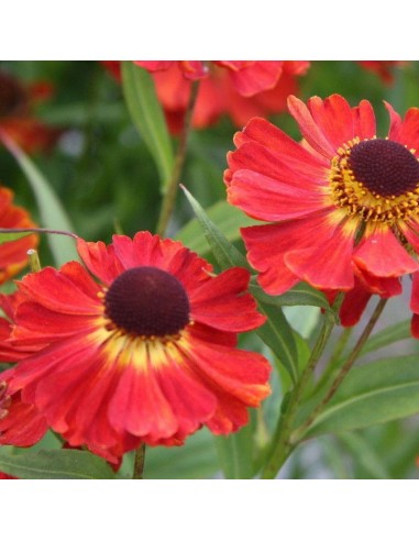 Hélénie hybride Red Jewel