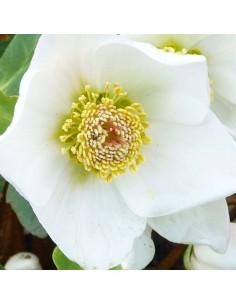 Hellébore Niger Rose de Noël