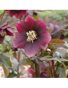 Hellébore orientale Red hybrids