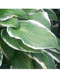 "Hosta fortunei ""Francee"""