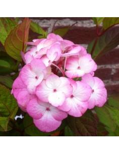 Hortensia serrata Preziosa