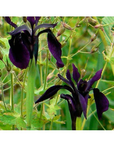 "Iris chrysographes ""Black form"""