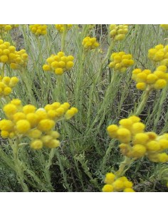Immortelle d'Italie