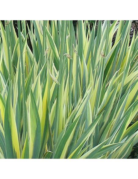 Iris à parfum à feuillage panaché