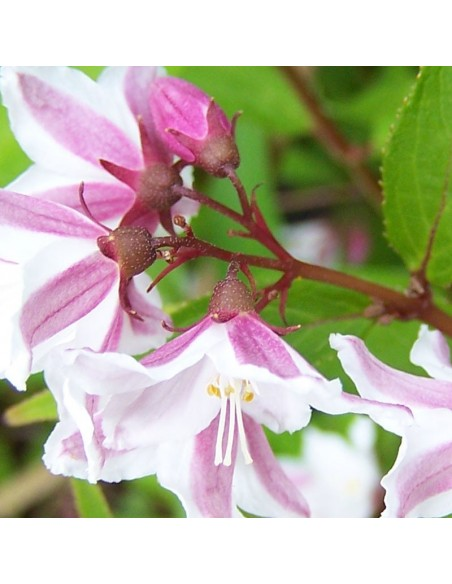 Deutzia purpurascens Kalmiiflora