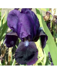 Iris des jardins Black Knight