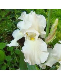 Iris des jardins White Knight